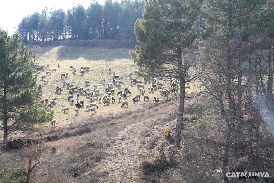 Ramat d'ovelles pasturant a Montpol