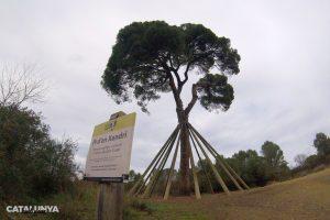 Pi d'en Xandri a Sant Cugat del Vallès