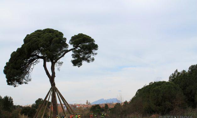 Excursió al magnífic Pi d'en Xandri a Sant Cugat del Vallès